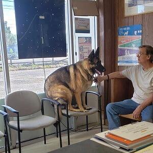 German shepherd sitting on lobby chair