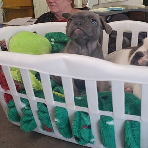 puppy pit bull in a basket